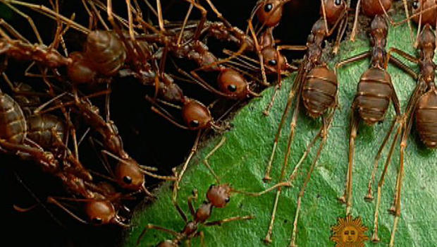 ant social systems A sophisticated underground ant city once populated by millions  melania looks horrified in video shaking hands with putin as social media speculates she is 'the.
